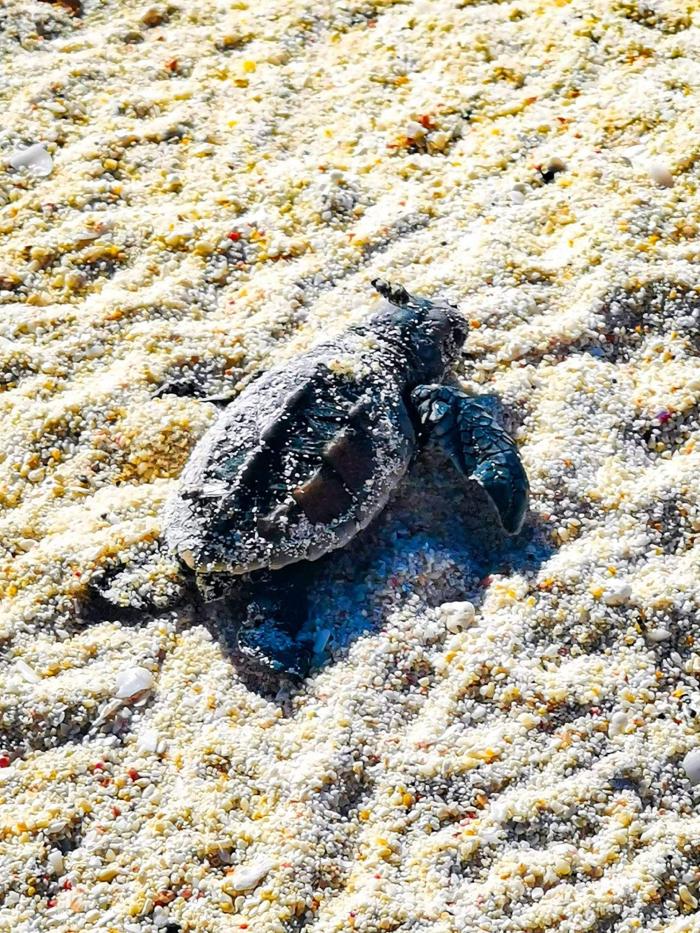 babay turtle Barbados holiday